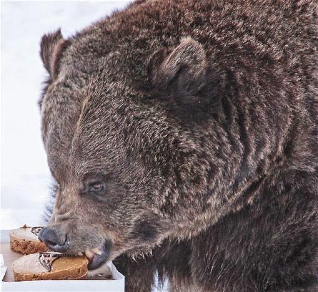 Oso Grizzly Predice Al Ganador Del Super Bowl.